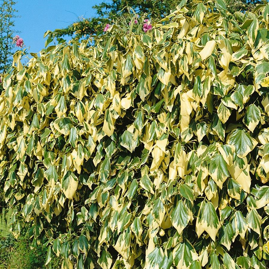 Gelbbunte Kaukasischer Strauch Efeu 80-100cm Hedera colchica